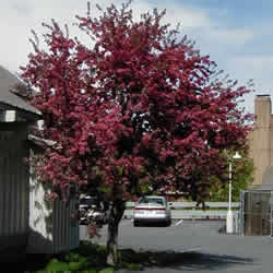Crabapple, Royalty Red